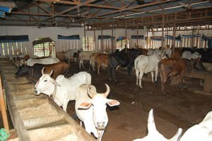 cow-shed